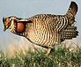 Bird: Sharp-tailed Grouse
