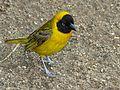 Lesser Masked Weaver (Ploceus intermedius) (6035844600).jpg