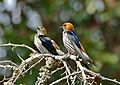 Lesser Striped Swallows (Cecropis abyssinica) (32046527211).jpg