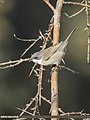 Lesser Whitethroat (Sylvia curruca) (48440414676).jpg