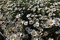 Leucanthemum vulgare - img 26298.jpg