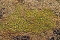 Lichen (28147763987).jpg