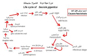 Fasciola gigantica - Life cycle