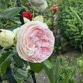 Light Pink Garden Rose by A - 2020-06-18.jpg