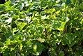 Ligularia tussilaginea Aureomaculata 1zz.jpg