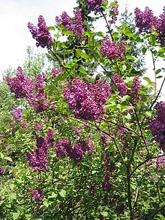 Lilac in flower