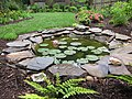 Lily pond doing well - panoramio.jpg