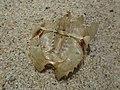 Limulus polyphemus (Limulidae) - (exuviae), Cape Cod (MA), United States - 2.jpg