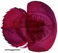 Limulus polyphemus (YPM IZ 076992) 002.jpeg