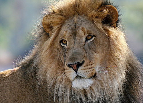 L Is For Lion 1