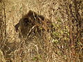 Lion Panthera leo in Tanzania 0699 Nevit.jpg