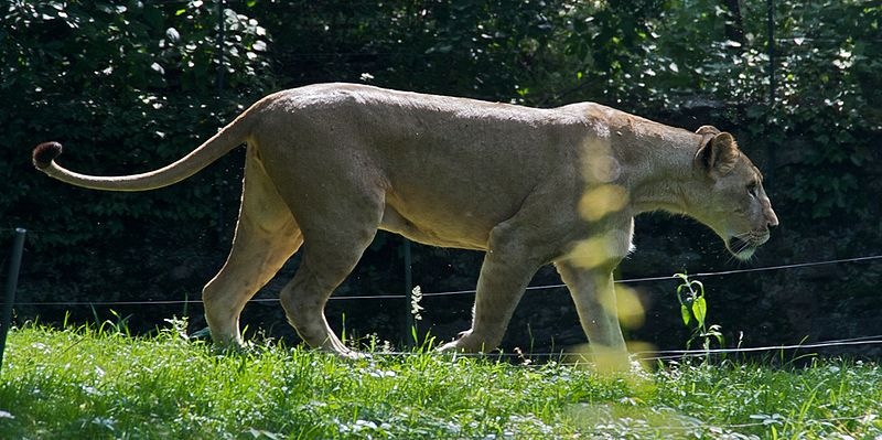 File:Lioness Panthera leo at Bronx Zoo 1 cropped.jpg