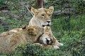Lions Masai Mara.jpg
