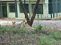 Lions at Bannerghatta National Park 4-24-2011 12-15-09 PM.JPG