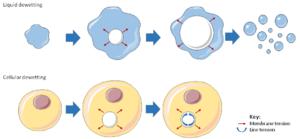 Cellular dewetting - Figure 2. Analogy between liquid dewetting and cellular dewetting.
