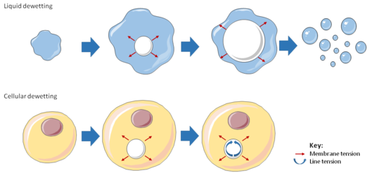 Diagram illustrating the analogy between liquid and cellular dewetting.
