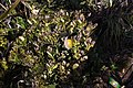 Lithocarpus sp. ? - Stone oak (8247557569).jpg