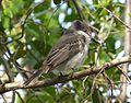 Loggerhead Kingbird .Tyrannus caudifasciatus - Flickr - gailhampshire (1).jpg