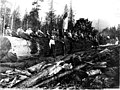 Loggers on top of a 100 foot long log, Washington, 1907 (KINSEY 2856).jpeg
