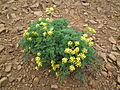 Lomatium Meeks Table.jpg