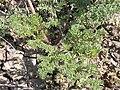 Lomatium foeniculaceum (4013420782).jpg