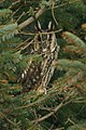Long-eared Owl (Asio otus), Baltasound - geograph.org.uk - 667339.jpg