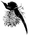 Long-tailed Bird of Paradise Mivart.png