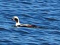 Long-tailed Duck - Clangula hyemalis, Delaware Seashore State Park, Rehoboth Beach, Delaware (24937760107).jpg