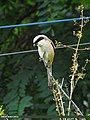 Long-tailed Shrike (Lanius schach) (15706319400).jpg