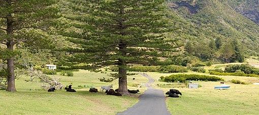 Lord Howe Island cowes