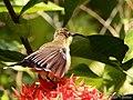 Loten's Sunbird Female (Cinnyris lotenius) (17446583954).jpg