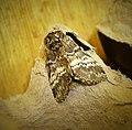 Lunar Marbled Brown. Drymonia ruficornis (33773678008).jpg