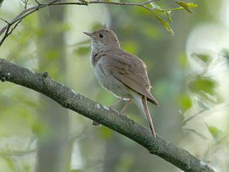 Thrush nightingale - In Poland