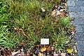 Luzula luzuloides - Botanischer Garten - Heidelberg, Germany - DSC00872.jpg
