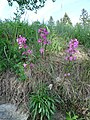 Lychnis viscaria plant.jpg