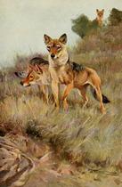 Lydekker euro wolves.png
