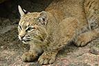 Lynx rufus - Zoo Sauvage de Saint-Félicien - 2016-07-19.jpg