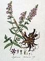 Lythrum salicaria — Flora Batava — Volume v4.jpg