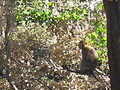 Macaque berbère à Ziama Mansouriah 6 (Algérie).jpg