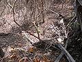 Macrosphyra longistyla 0007.jpg