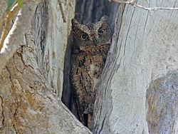 Madagascar Scops OWL RWD.jpg