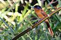 Madagascar paradise flycatcher rufous phase.jpg