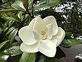 Magnolia (50722719503).jpg