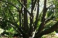 Magnolia doltsopa kz01.jpg