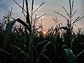 Maize field - Flickr - Stiller Beobachter.jpg