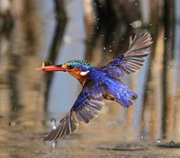 Malachite Kingfisher, Alcedo cristata at Marievale Nature Reserve, Gauteng, South Africa (21370291191) (cropped).jpg