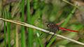 Male Fiery Skimmer lateral (17067796127).jpg