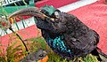 Male Paradise Riflebird (Ptiloris paradiseus), Toowoomba area, East Australia.jpg