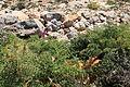 Malta - Ghajnsielem - Comino - Anacamptis pyramidalis 02 ies.jpg