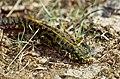 Marbled Newt (Triturus marmoratus) female (36147241590).jpg
